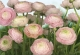 Фотообои Komar Gentle Rosé 8-894 (368x254) -