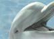 Элемент панно Березакерамика Дельфин 3 бирюзовый (250x350) -