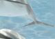 Элемент панно Березакерамика Дельфин 5 бирюзовый (250x350) -