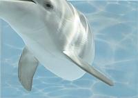 Элемент панно Березакерамика Дельфин 8 бирюзовый (250x350) -