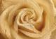 Фотообои Твоя планета Люкс Утренняя роза (194x136) -