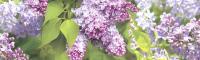 Скиналь Оптион Цветы. Майская сирень 30 (стекло, 1400x600x3) -