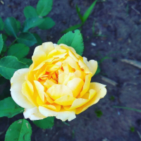 Саженец Zelensad Роза чайно-гибридная Керио -