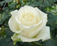 Саженец Zelensad Роза чайно-гибридная Боинг -